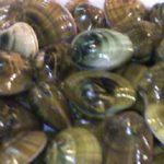 Brote de veneno amnésico interrumpió la extracción de moluscos bivalvos en Calbuco